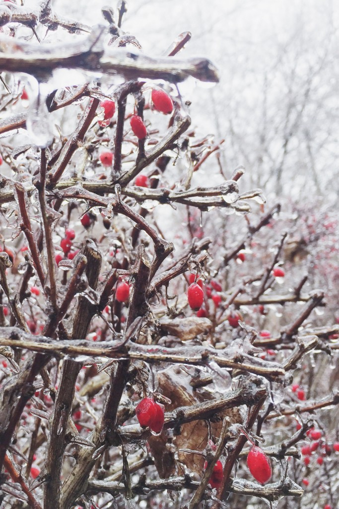 red berries in winter with ice