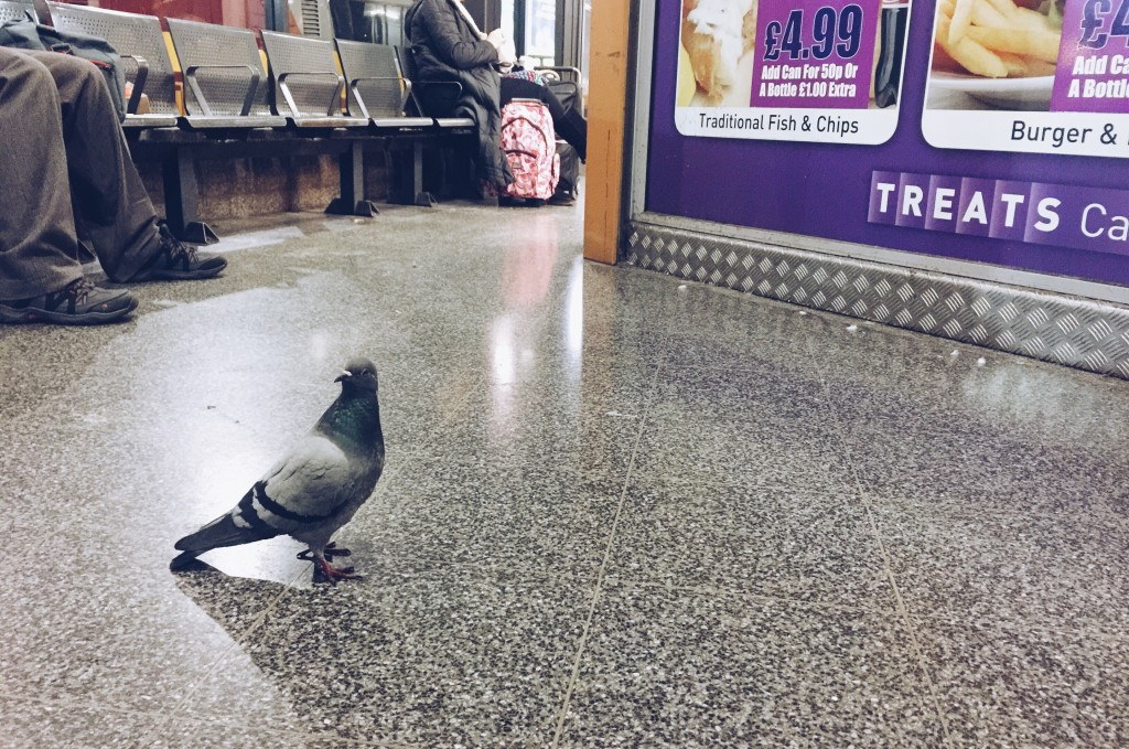 pigeon at bus station