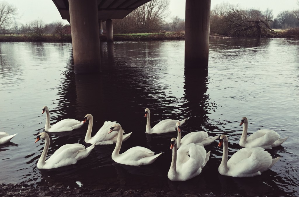 swans in a river under bridge