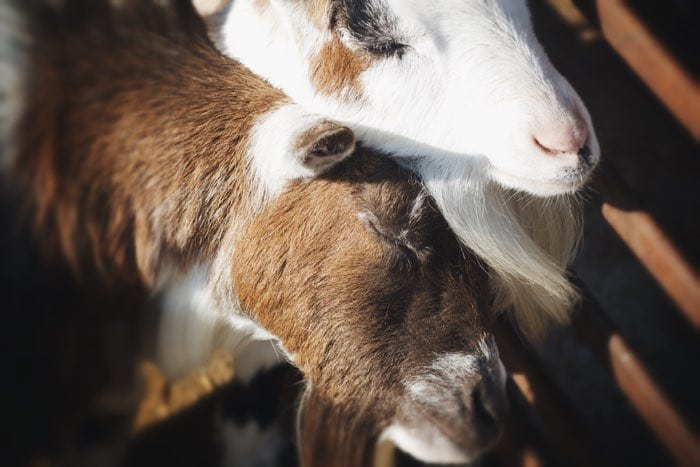goats on farm sun
