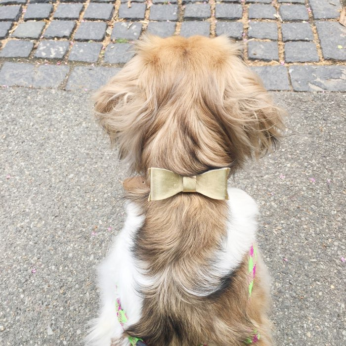 golden bow on a dog