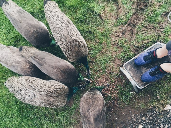 peacock family eating cereal blue shoes