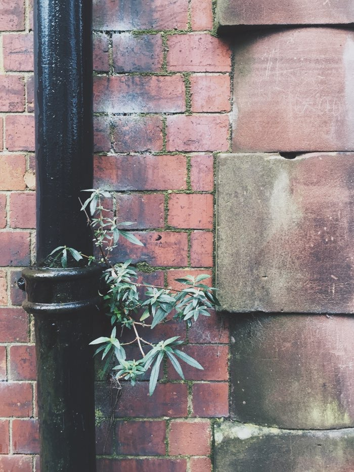 plant growing from pipe on brick building