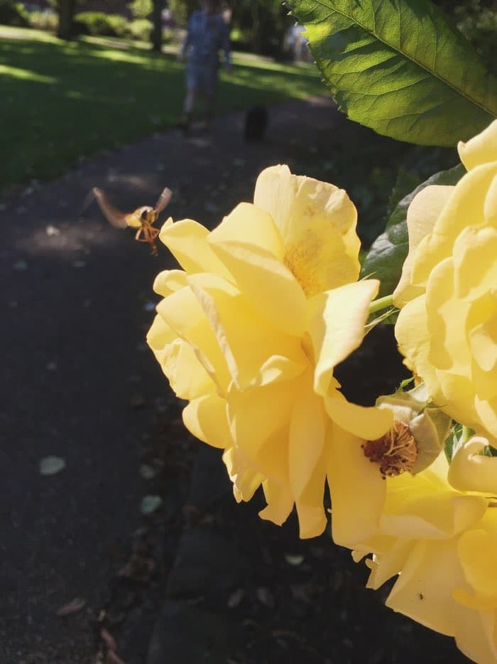 bee and yellow rose