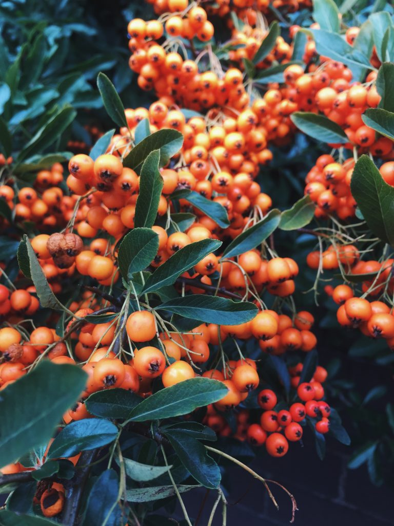 orange berries on bush