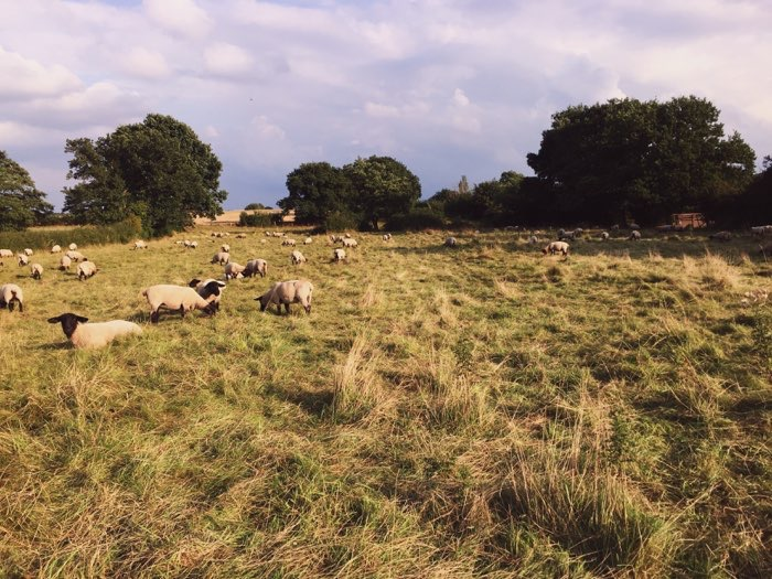 sheep grazing at farm