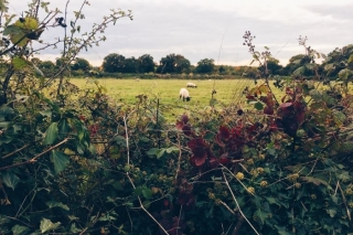 sheep grazing behind fence