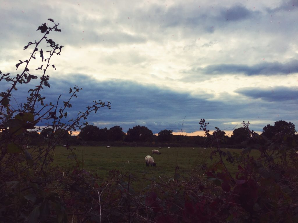 sheep in open field