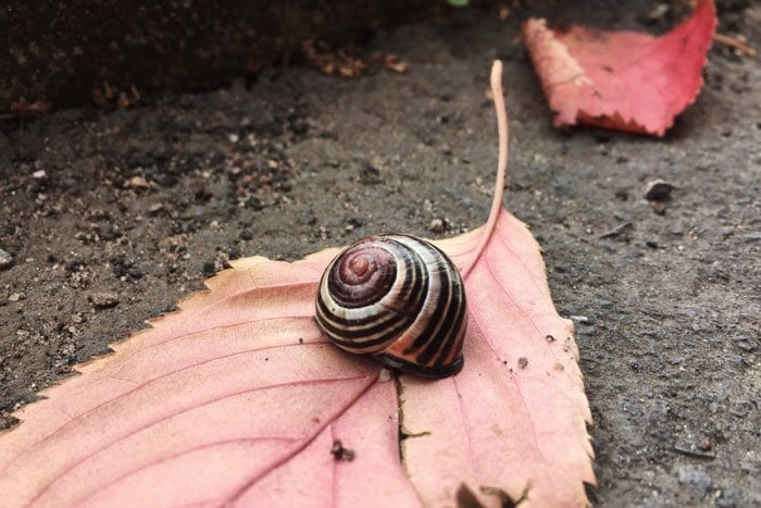 snail shell on red leaf fall