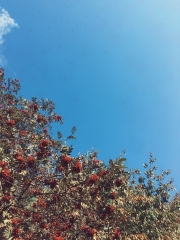 tree with berries blue sky